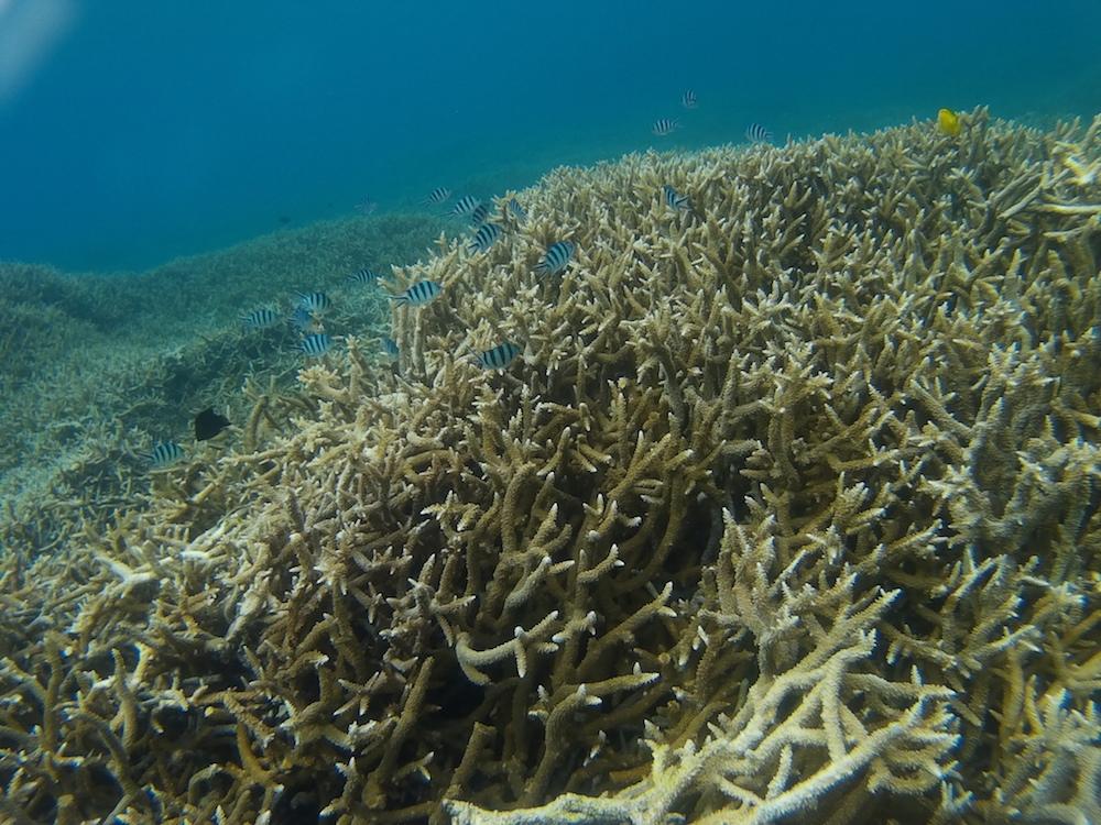 シュノーケリングスポットの枝サンゴ