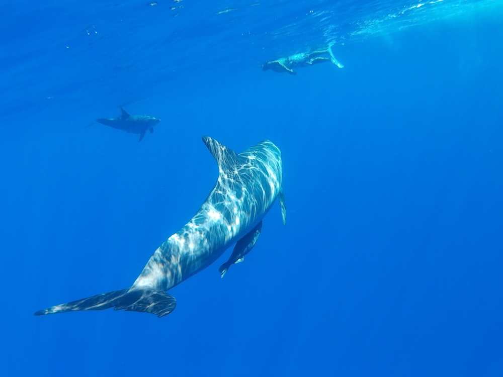 小笠原でイルカと泳ぐ2