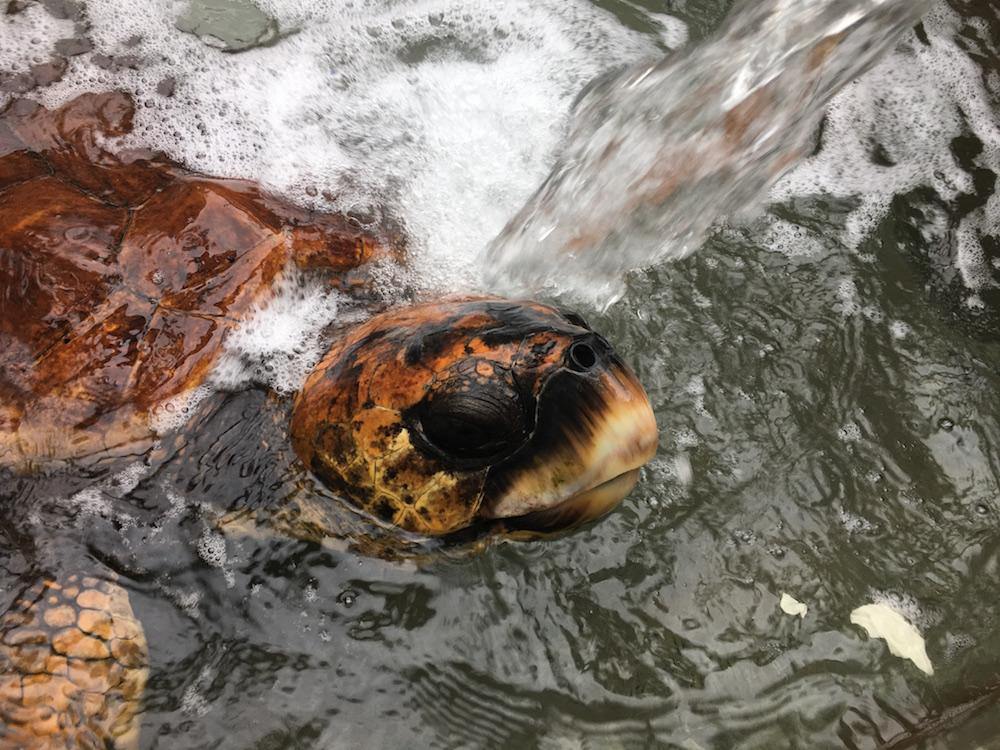 小笠原海洋センターの亀